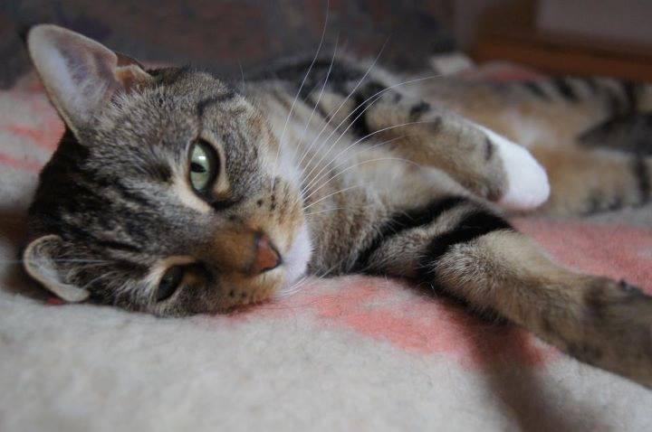 sterilisatie-castratie-kat