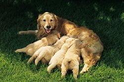 fokken pups