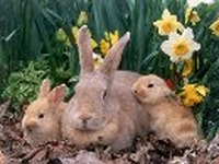 konijnenvaccin
