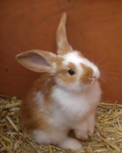 rhd2 konijnenvaccin cunipravac